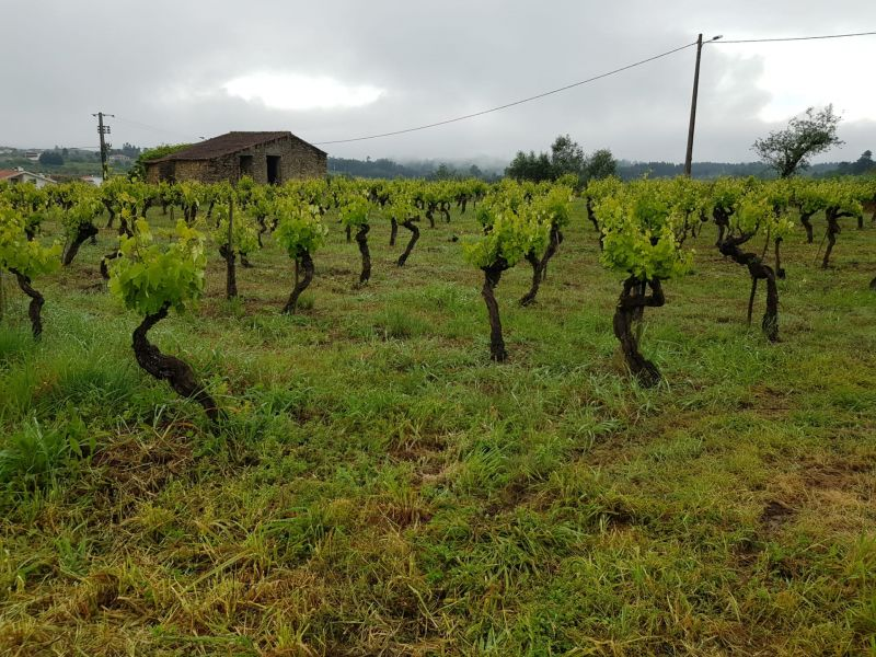 Vineyard with views in Miranda do Corvo
